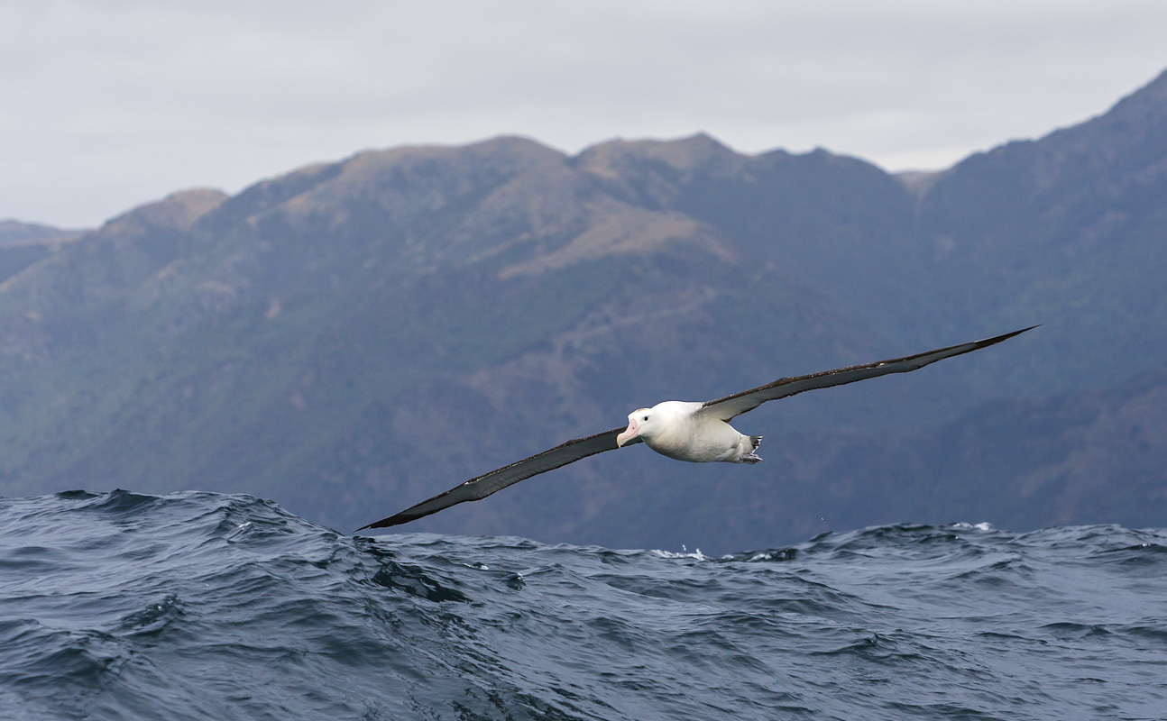Image search  Wandering albatross   Antarctic GuideWandering Albatross Wallpaper